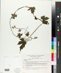 Gronovia scandens image