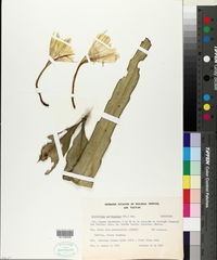 Epiphyllum oxypetalum image