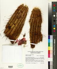 Echinocereus ledingii image