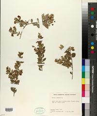 Myrtus communis image