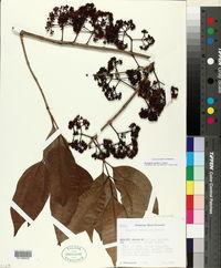 Syzygium cumini image