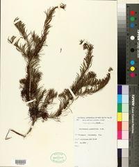 Image of Calothamnus quadrifidus