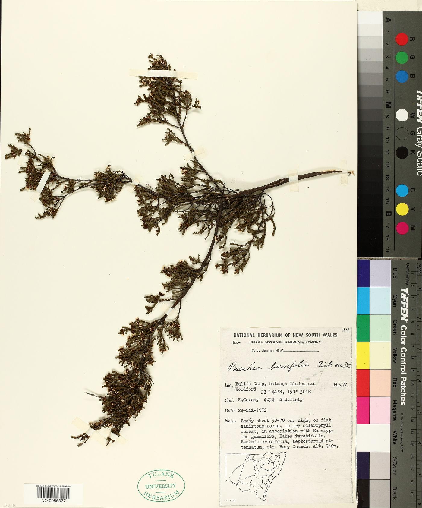 Baeckea brevifolia image