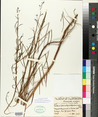Eulobus californicus image