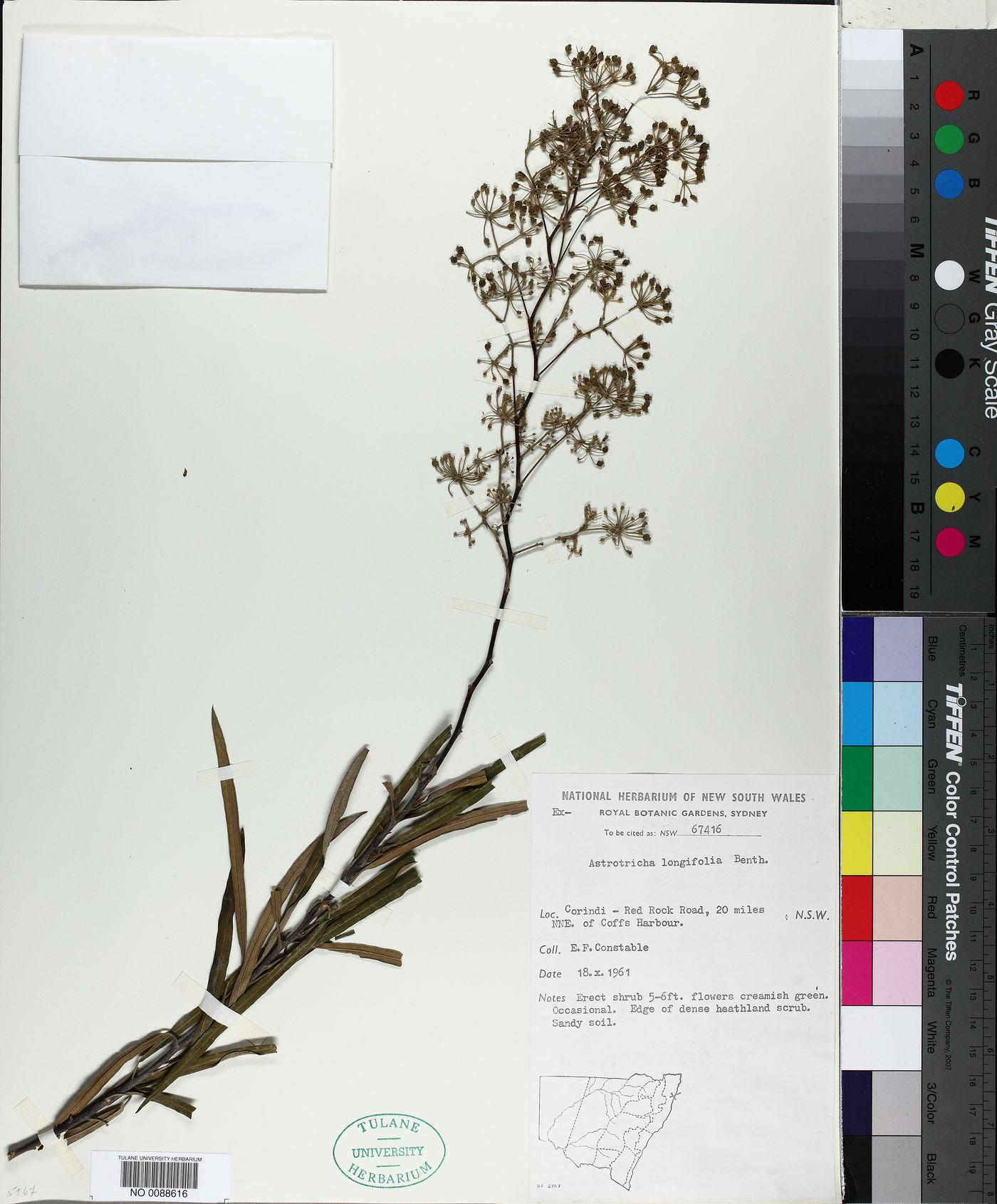 Astrotricha longifolia image
