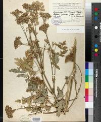 Image of Seseli transcaucasicum
