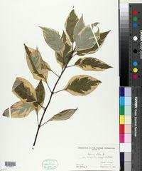 Cornus alba image