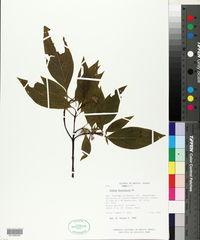 Cornus disciflora image