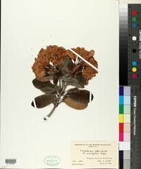 Image of Rhododendron dendricola