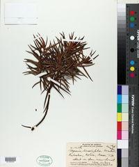 Image of Myrsine linearifolia