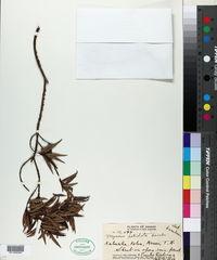 Image of Myrsine petiolata