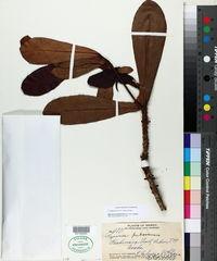 Image of Myrsine pukooensis