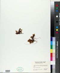 Image of Anagallis alternifolia