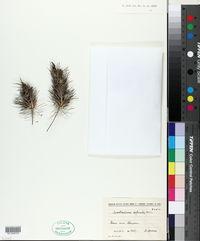 Image of Acantholimon lepturoides
