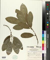 Image of Chrysophyllum gonocarpum