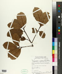 Image of Chrysophyllum pomiferum