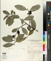 Image of Diospyros australis