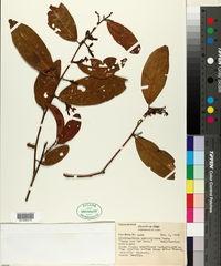 Image of Diclidanthera penduliflora