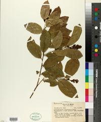 Image of Diclidanthera laurifolia