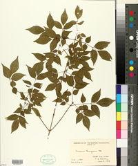 Image of Fraxinus bungeana