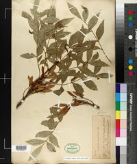 Fraxinus angustifolia image