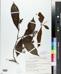 Image of Chionanthus oblanceolatus