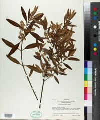 Image of Olea verrucosa