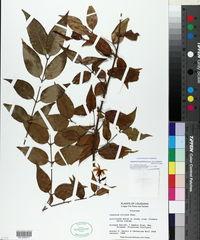 Jasminum laurifolium image