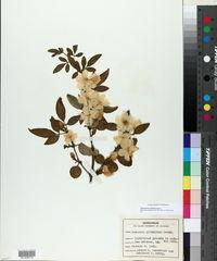 Jasminum primulinum image