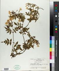 Jasminum officinale image