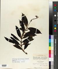 Image of Spigelia hamelioides