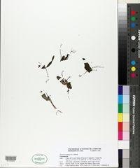 Image of Spigelia pygmaea