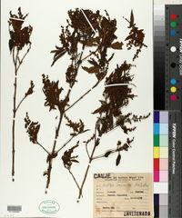 Image of Buddleja iresinoides