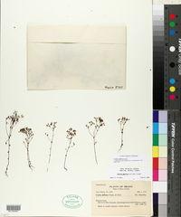 Image of Curtia diffusa