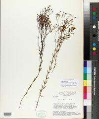 Curtia tenuifolia image