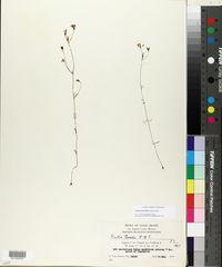 Image of Curtia tenuifolia