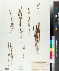 Image of Zeltnera muhlenbergii