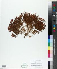 Zeltnera calycosa image