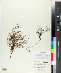 Centaurium quitense image