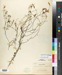Image of Centaurium tenuifolium