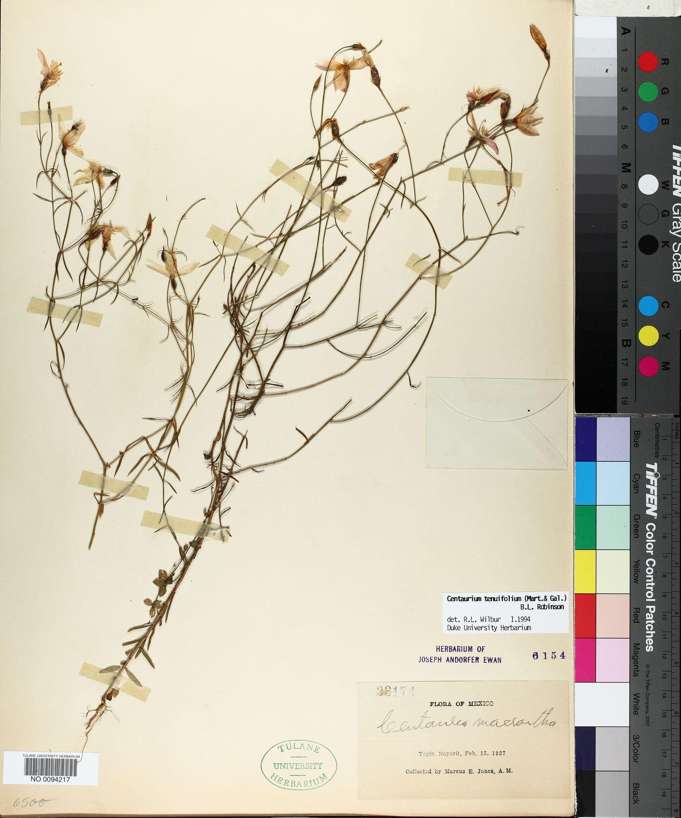 Centaurium tenuifolium image