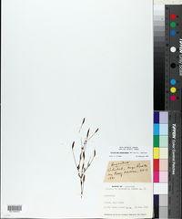 Centaurium cachanlahuen image