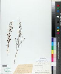 Image of Centaurium ameghinoi