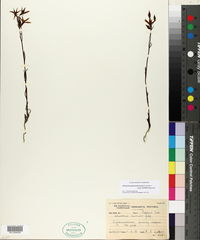Chironia purpurascens image