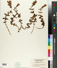 Gentiana affinis image