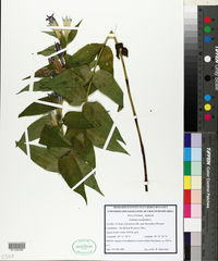 Image of Gentiana asclepiadea