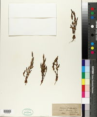 Image of Gentiana brachyphylla