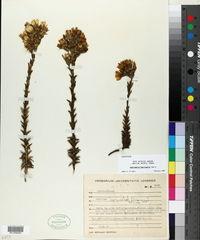 Image of Gentianella fuscicaule