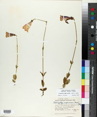 Image of Calolisianthus amplissimus