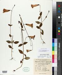 Chelonanthus purpurascens image